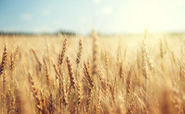 Danish wheat not considered too golden (photo: iStock)