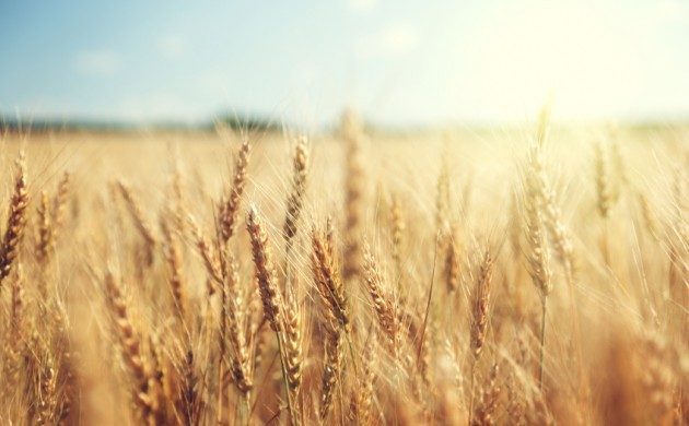 Over the past 25 years, the quality of Danish wheat has fallen considerably (photo: iStock)