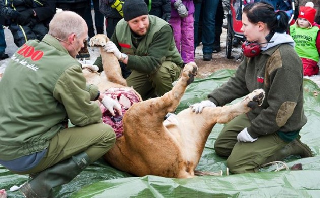 It's not the first lion dissection Odense Zoo has been involved in (photo: Odense Zoo)