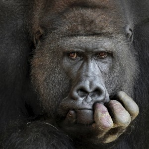 gorilla play