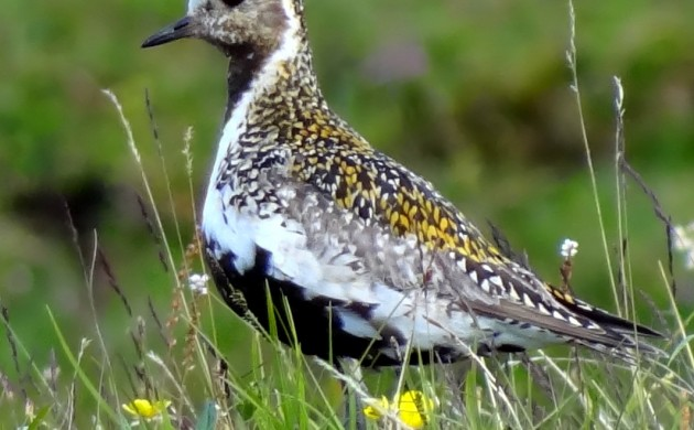 The wading bird, European golden plover, has completely disappeared from Danish nature (photo: Bjørn Christian Tørrissen)