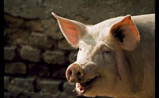 The court says that the public has a right to know if pigs have MRSA (photo: Daniele Pieroni)