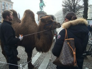 The camel that took Copenhagen (photo: Andy Stiny)