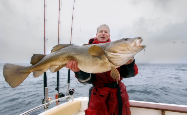 Monster cod are a rare sight these days in the Baltic Sea (photo: iStock)