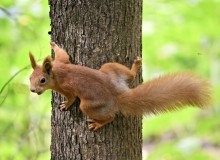 Squirrel is one of the 30 species selected for the project (photo: iStock)