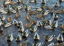 The infected mallard ducks have been placed under quarantine (photo: iStock)
