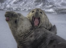 Thanks to the elephant seals, scientists were able to gather data from areas inaccessible to humans (photo: iStock)