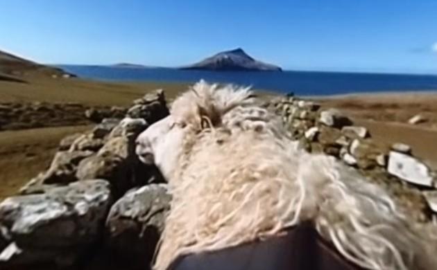 Google maps the Faroe Islands with sheep
