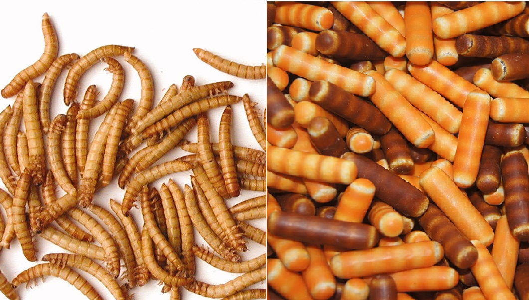Mealworms look suspiciously similar to Haribo's Labre Larver (photo: Heimdal Entofarm/Haribo)