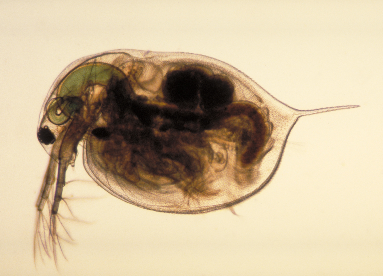 Water fleas showing the way (photo: Public Library of Science)