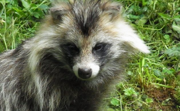 Denmark struggling with raccoon dog epidemic – The Post