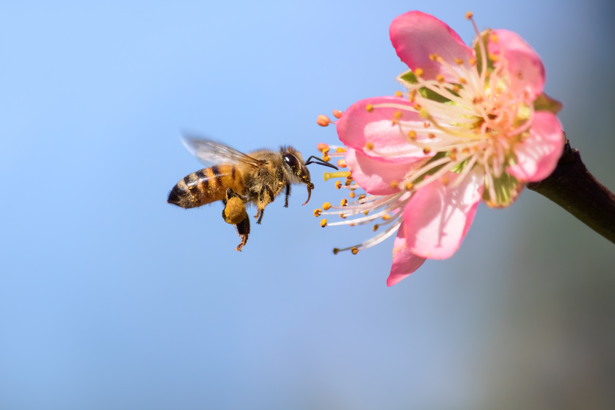 Bees are essential for the production of food (photo: iStock)