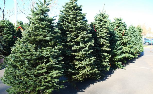 The Most Popular Species Of Xmas Tress Grown In Denmark Is