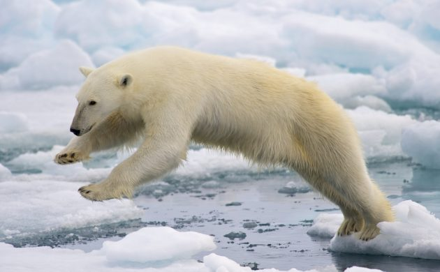 More polar bears in Greenland than expected – The Post on
